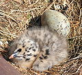 CC_Herring_Gull_Chick by John Haslam.jpg