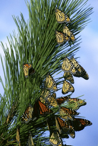 US Fish and Wildlife Monarch_butterfly_migration.jpg