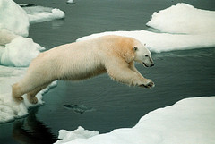 http://acronymrequired.com/images/polar-bear-%20Greenpeace-Beltra.jpg